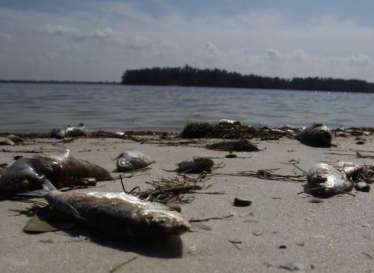 Gulf Coast: More Contaminated Water And Fish Kills