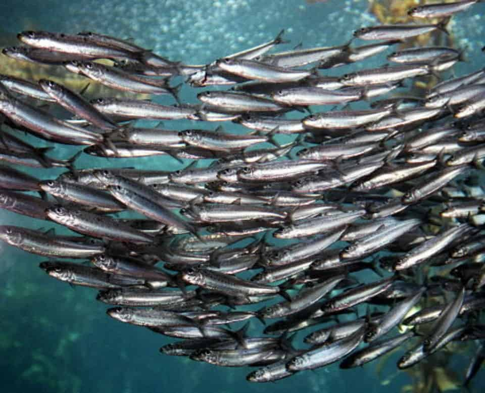 Emergency Closure Of Fishery Along West Coast
